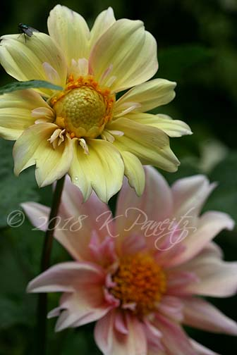 Dahlia 'Apple Blossom7'