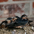Baby Barn Swallows1