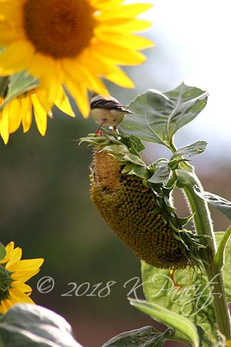 Sunflowers & Goldfinch1