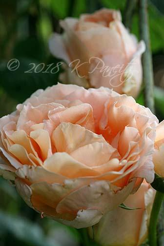 'Polka' Roses