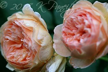 'Crown Princess Margareta' Roses1
