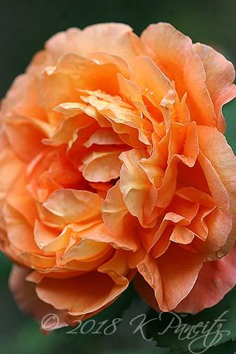 'Lady Emma Hamilton' DA Rose4
