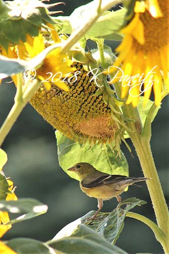 Goldfinch6
