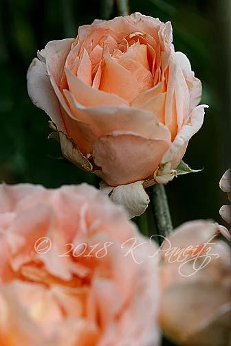 'Polka' Roses2