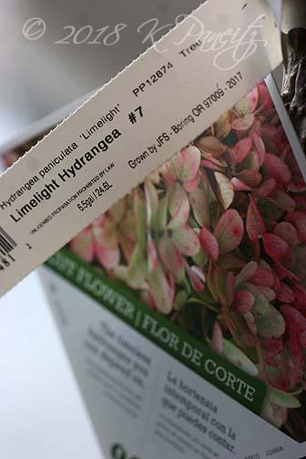 Hydrangea 'Limelight' Standard1