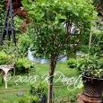 Hydrangea 'Limelight' Standard5