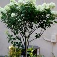 Hydrangea 'Limelight' Standard8