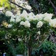 Hydrangea 'Limelight' Standard9