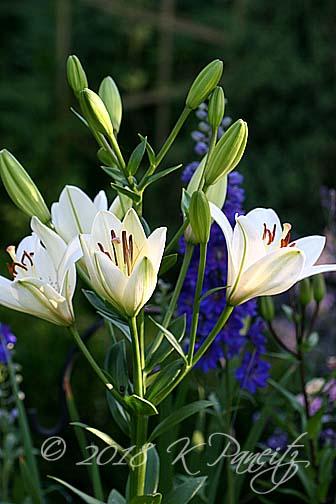 'Eyeliner' Lilies1