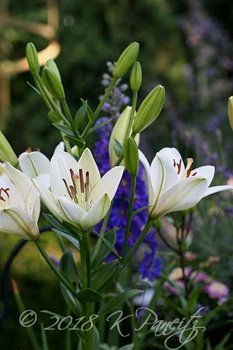 'Eyeliner' Lilies