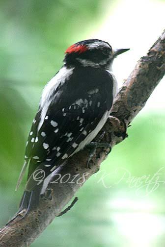 Downy Woodpecker1