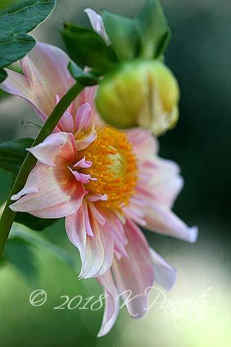 Dahlia 'Apple Blossom2'