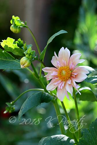 Dahlia 'Apple Blossom3'