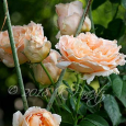 'Polka' Roses1