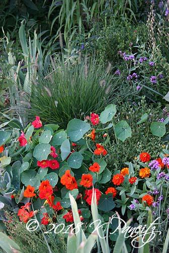 Dwarf Hameln Grass & Nasturtiums