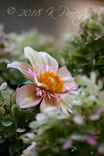 Dahlia 'Apple Blossom' & hydrangeas