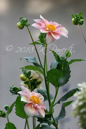 Dahlia 'Apple Blossom10'