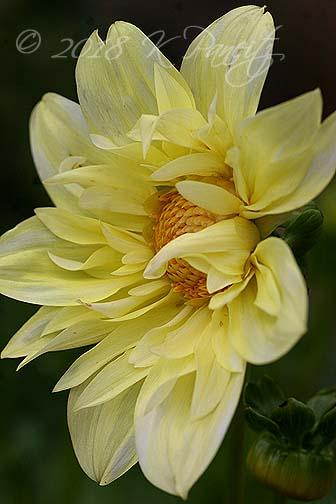 Dahlia 'Yellow Bird'