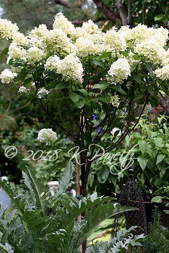 Hydrangea 'Limelight' Standard13
