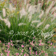 'Hameln' Dwarf Fountain Grass