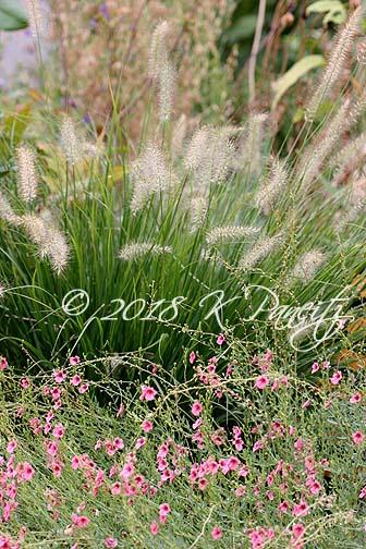 'Hameln' Dwarf Fountain Grass