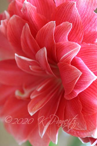 Amaryllis 'Double Dream'