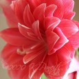 Amaryllis 'Double Dream1'