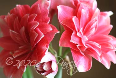 Amaryllis 'Double Dream2'