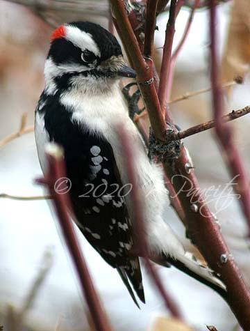 Downy Woodpecker2