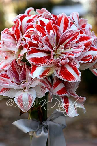 Amaryllis 'Bright Nymph10'