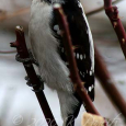 Downy Woodpecker1