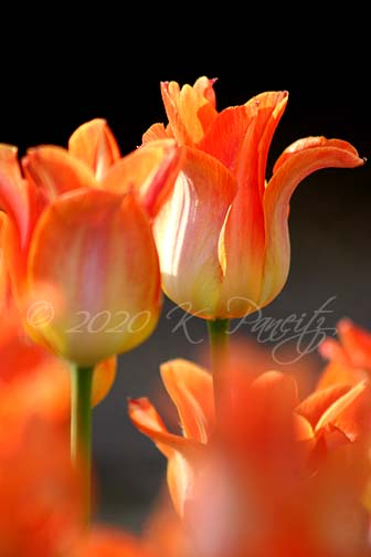 Je 't'Aime' Tulips
