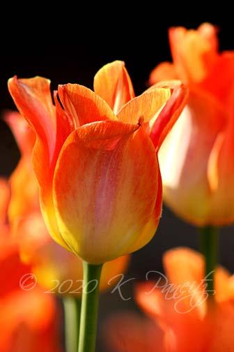 Je 't'Aime' Tulips2