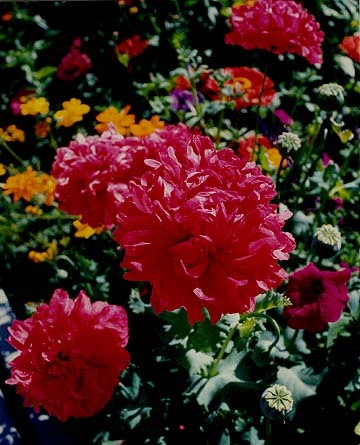 Pink_peony_poppies