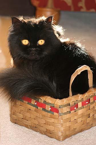 Cat_in_a_basket1