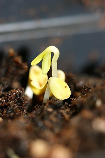 Zinnia_sprouts