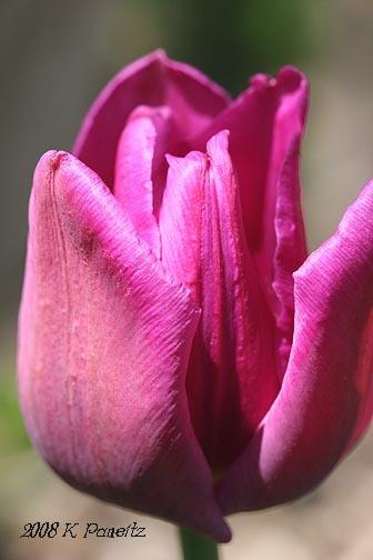 Tulip3_2