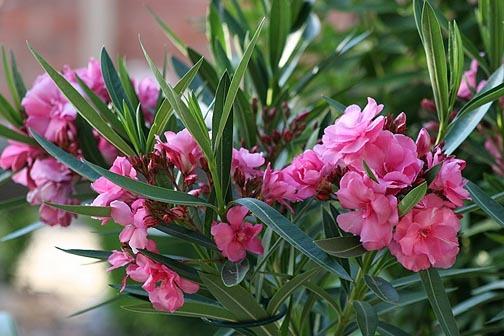 Pink_oleander1