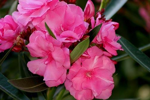 Pink_oleander2