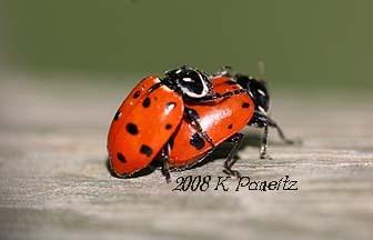 Ladybug_limbo